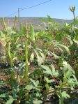 Did you ever see how okra grows?