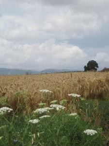 wheat field shavuoth